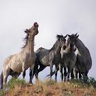 Nokota Wild Horses