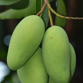 Mango by Menuel Magal - Nature Up Close Gardens & Produce