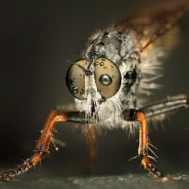 1.2.3 .... Start ! by Ondrej Pakan - Animals Insects & Spiders ( macro, fly, dew, dew drops, insect, robberfly )