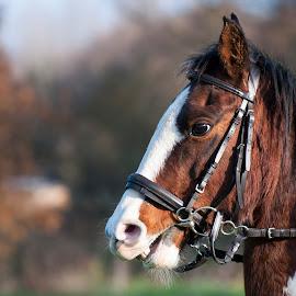 Tosca by Nicky Staskowiak - Animals Horses ( horseback, nature, horse, belgium,  )