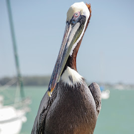Birds of Florida by Wendy Oster - Novices Only Wildlife ( birds, pelican,  )