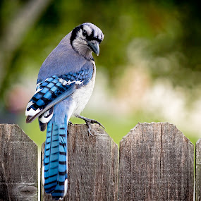 Mr. Blue Jay by DJ HOGG - Animals Birds ( 135mm l lens, color, canon 5 d  mark 3, birds, digital )