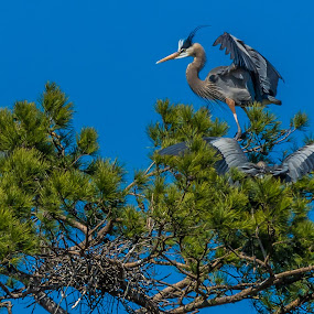 King of the Tree by Mike Watts - Animals Birds ( bird, great blue heron, mountain island, animal )