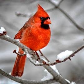 Burrrrrr …  by Betty Arnold - Animals Birds ( bird, song bird, male cardinal, cardinal, animal,  )