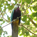 Woompoo Fruit-Dove