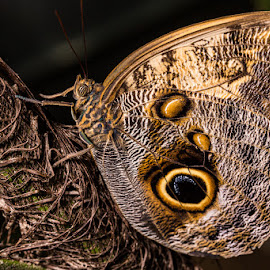 Giant Owl  by Matthew Davis - Animals Insects & Spiders ( butterfly, macro, giant owl, wings, insect, close, animal, butterfy )