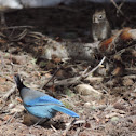 Steller's Jay  and friend