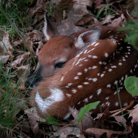 Sit Tight... by Michael Haagen - Animals Other Mammals ( spotted, forest floor, leafy, fawn, deer )