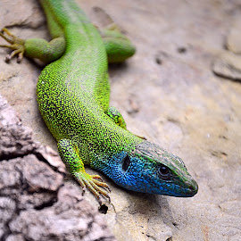 Shades of blue and green by Ana Maria Gh - Animals Reptiles ( reptile lizard green blue gray closeup )