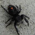 Bold Jumper Spider