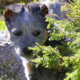 Chopper hiding by Luke Leddy - Animals - Dogs Puppies ( australian, puppy, blue heeler )