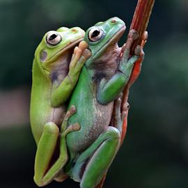 Nemplok by Sigit Purnomo - Animals Amphibians (  )