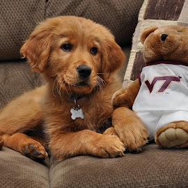 Hokie Puppy by Todd Hostetter - Animals - Dogs Puppies ( puppy, cute, golden retreiver, dog, animal, hokies,  )