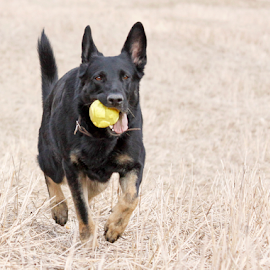 Joy of retrieving by Mia Ikonen - Animals - Dogs Running ( field, ball, retrieving, finland, german shepherd,  )