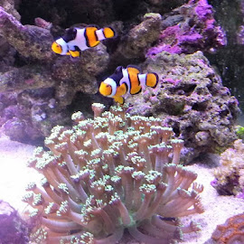 by Phil Bulpin - Animals Fish ( marine, coral, fish, tank, saltwater )