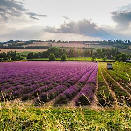 The Lavender Harvest  by Jodi Hanagan - Landscapes Prairies, Meadows & Fields ( shoreham, countryside, purple, kent, perfume, lavender )