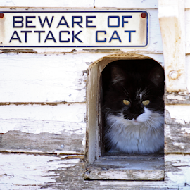 Beware!!! by Lloyd Alexander - Animals - Cats Playing ( cat, lloyd alexander, white, guarding, ready, black )