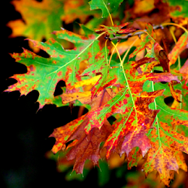 Fall Leaves by Leah Zisserson - Nature Up Close Leaves & Grasses ( orange, red, green, colors, oak, fall, leaves, , color, colorful, nature )