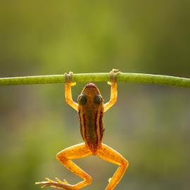 Climbing by Yusri Harisandi - Animals Amphibians ( macro, nature, frog, indonesia, animal )