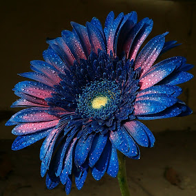 Blue + Pink ! by Darshan Trivedi - Flowers Single Flower ( amazing, shades, unique, android, blue, beautiful, drops, lovely, daisy, pink, morning,  )