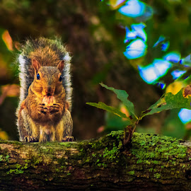 Squirrel by Carol Plummer - Animals Other Mammals ( yard, trees, squirrel, animal )
