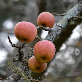 Apples by Charlotte Sybil - Nature Up Close Gardens & Produce (  )