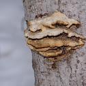 tree fungus ?