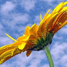 yellow gerber by LADOCKi Elvira - Flowers Single Flower ( nature, flowers, garden,  )