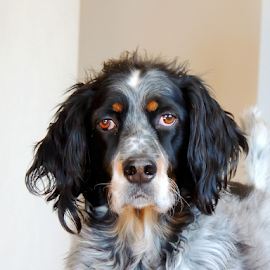 Radar by Sydney Badeau - Animals - Dogs Portraits ( inside, white, setter, brown, dog, english, black )