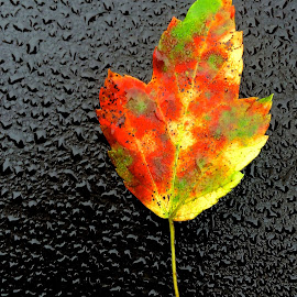 Leaf on Car by Tyrell Heaton - Nature Up Close Leaves & Grasses ( fall, leaf, iphone5 )