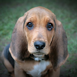 Sweet Sofie Baby by Nikki Spencer - Animals - Dogs Puppies ( canine, ears, puppy, basset hound, cute, dog, black and tan, eyes )