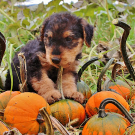 by Randy Cicogna - Animals - Dogs Puppies ( puppies, pumpkins,  )