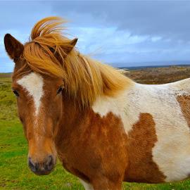Icelandic Horse by Tyrell Heaton - Animals Horses ( iceland, horse )