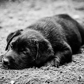 Border Lab Puppy by Ken Brown - Animals - Dogs Puppies ( b&w, furry, white, relaxing, landscape, cute, young, border lab, mammal, soft, resting, pet, fur, puppy, dog, dirt, black, animal,  )
