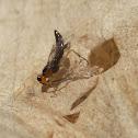 Leaf mining sawfly