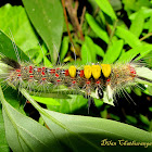Brown Tussock Moth Caterpillar