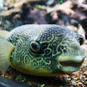 Mbu Pufferfish