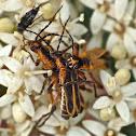 Margined leatherwings