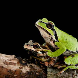 Pacific chorus frogs by Jason Weigner - Animals Amphibians ( washington, tree, nature, frog, green, chorus, amphibian, wildlife, pacific, brown, frogs )