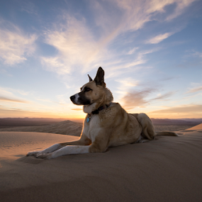 To the top of Kelso Dunes / Mojave Desert  by Michael Keel - Animals - Dogs Portraits ( dog on dunes, mojave desert, desert, kelso dunes, sunset desert )