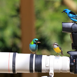 Eating! by Itamar Campos - Animals Birds ( blue dacnis, saíra sete cores, cambacicas )