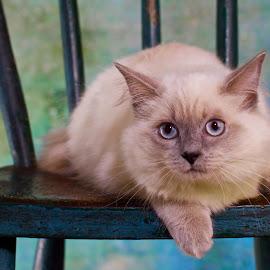 My Blue Eyed Baby by Allyson Karn - Animals - Cats Kittens ( ragdoll, kitten, cat, karnfarms, owensboro,  )