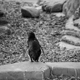 Solitude by Charlie McCormack - Novices Only Wildlife ( black and white, penguin )