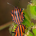 Italian Striped-Bug, Chinche rayada