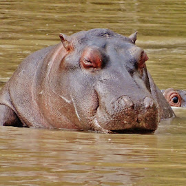 Daydreaming. by Carine Smit - Animals Other Mammals ( water, nostrels, friends, scars, head )