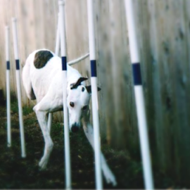 Weave In Focus by Cecilia Sterling - Animals - Dogs Playing ( hound, weave poles, sighthound, greyhound, agility )