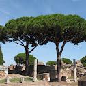 Italian Stone Pine