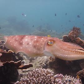 Cuttlefish by Daniel Blechynden - Animals Sea Creatures ( scary, beautiful, cuttlefish,  )