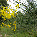 spanish broom; retama de flor