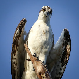 Hello by Jared Lantzman - Animals Birds ( flying, seahawk, wings, prey, birds, osprey, birding )